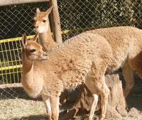Ataque en Zoo de Quilpué
